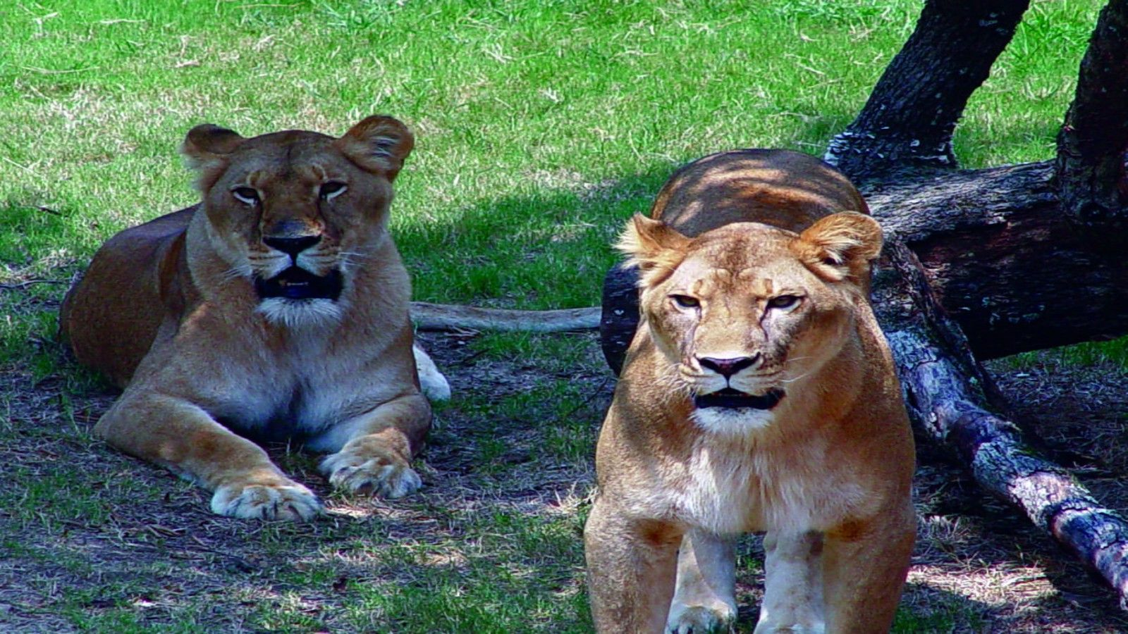 Hotels Near Little Rock Zoo - Lions